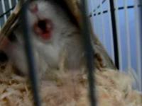 Wściekły chomik tasmański