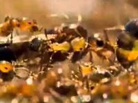 Mrówki tworzące tratwę ratunkową z samych siebie