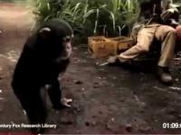 Małpa z karabinem AK 47 strzela do afrykanskich rebeliantow
