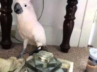 Reakcja papugi na wieść o pójściu do weterynarza