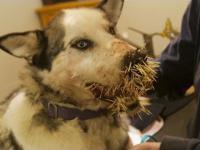 Pies po spotkaniu z jeżozwierzem