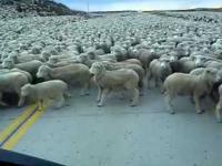 Tysiące owiec blokują drogę w Chile
