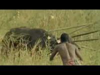 Polowanie na najwieksze zwierzęta Afryki za pomocą samych dzid i siły mięśni.