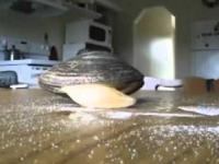 Małż wcina cukier