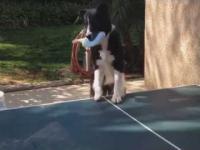 Pies gra w ping ponga z właścicielem