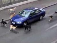 Rosyjska psia mafia atakuje samochód