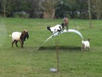 Zabawy kóz