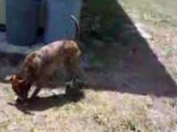 Pies, który robi backflipy