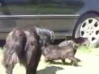 Odpowiedzialne psy przerywają walkę