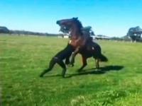 Kobieta kontra rozdrażniony koń