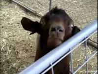 Wyznanie kozy