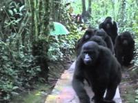 Grupa fotografów natyka się na rodzinę dzikich goryli