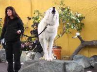 Wyjący wilk polarny