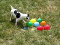 Pies kontra balony z wodą