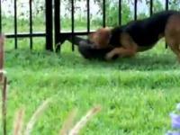 Pies bawi się z wydrą