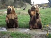 dwa niedźwiedzie powiedzieć'' cześć''
