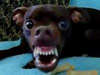 Pies szczerzy zęby