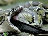 Wąż zjada aligatora