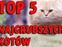 TOP 5 Najgrubszych kotów na Świecie!