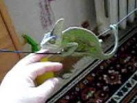 Kameleon Jemeński na kablu od słuchawek