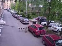 Wygłodniałe psy niszczą zaparkowany samochód