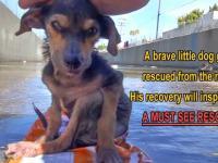 Dzielny pies uratowany przez dobrego człowieka