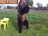Wyjątkowo ludzki niedźwiedź