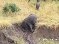 Słoniowe sposoby zejścia z błotnistej górki