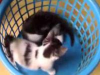 Koty walczace w klatce