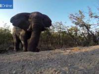 Pobudka słonia