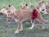 Ratowanie Lwicy poranionej przez bawoła