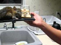 Szczur - American Size