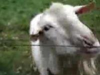 Koza spotkała elektryczny płot