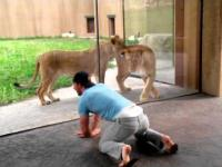 Drażnienie lwów