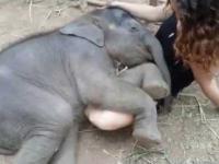 Śpiące słoniątko na kolanach