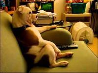 Wyluzowany Pies oglada TV