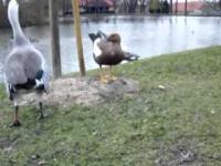 Rozmowy kaczek