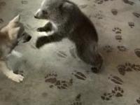 Misiek bawi się z wilczkiem