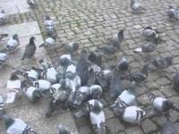 Gołębie + bułka = LIDL WALKA O KARPIA. Dubbing PL