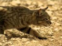 Tak poluje koci drapieżnik!