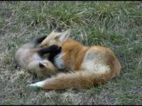 Szczenięta lisa rudego. Prawda, że wspaniałe zwierzęta? I takie sympatyczne.