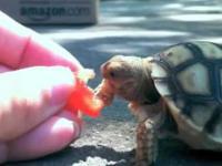 Żółw Smak Pomidor