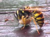 Osa vs pająk (wasp vs spider)