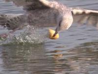 Zwinność mew.Seagulls in Slow Motion.