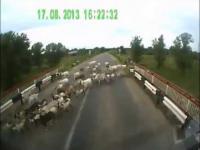 Ciężarówka przejeżdża po stadzie kóz