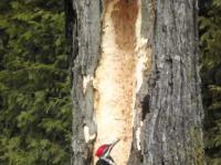 Dzięcioł ścina drzewo