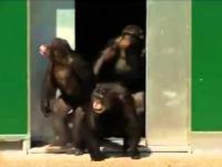 Laboratoryjne szympansy