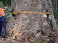 Wycinka 80-cio metrowych drzew