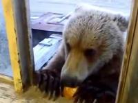 Niedźwiedź przyszedł w gości