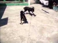 Rottweiler Fun